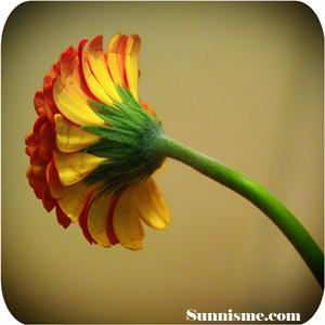 Flower_Sunnisme_site